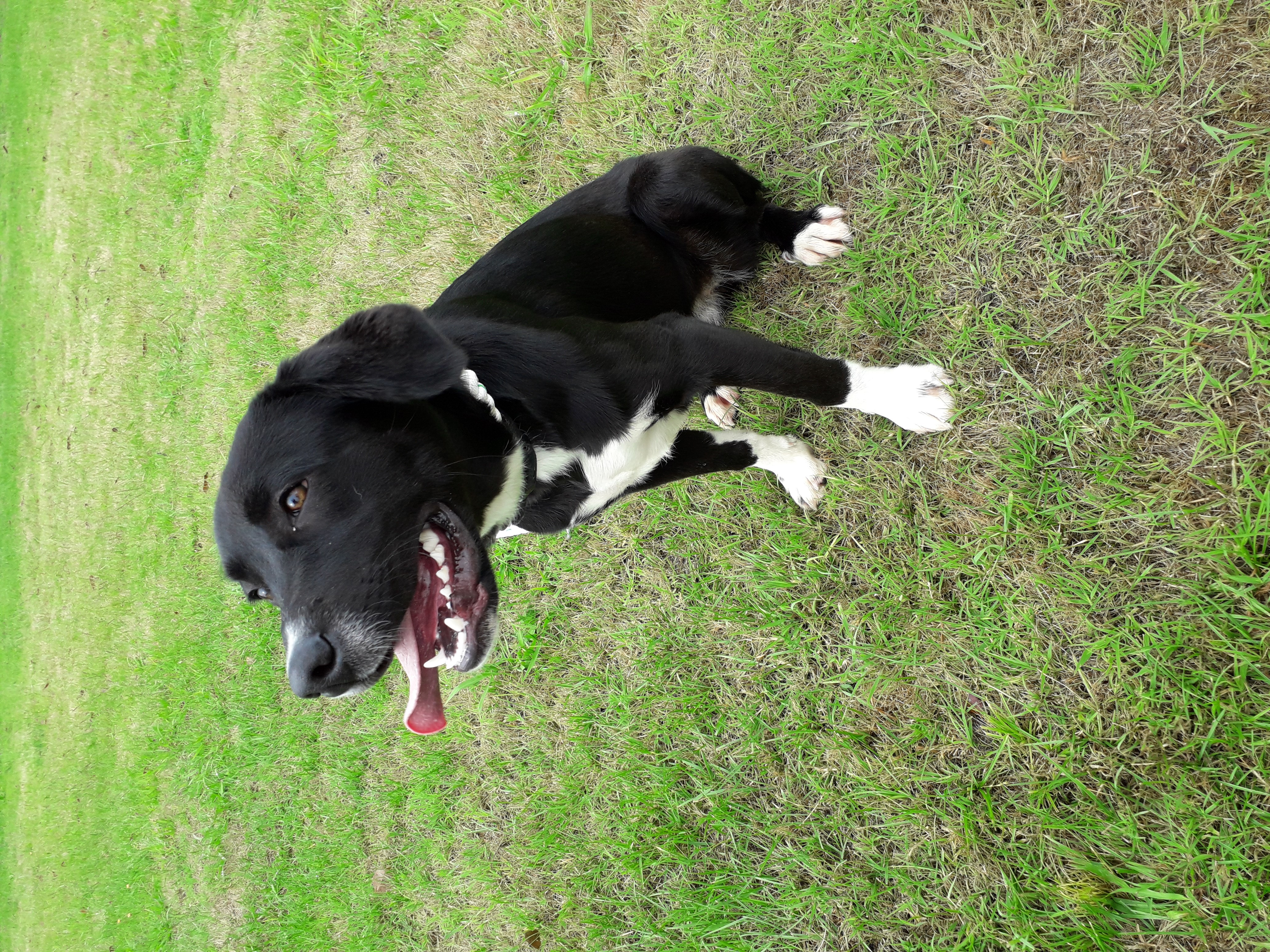 An obedience champion of the future, this high drive Border Collie cross would suit an experienced handler as she is a blank canvas with little to no training to date