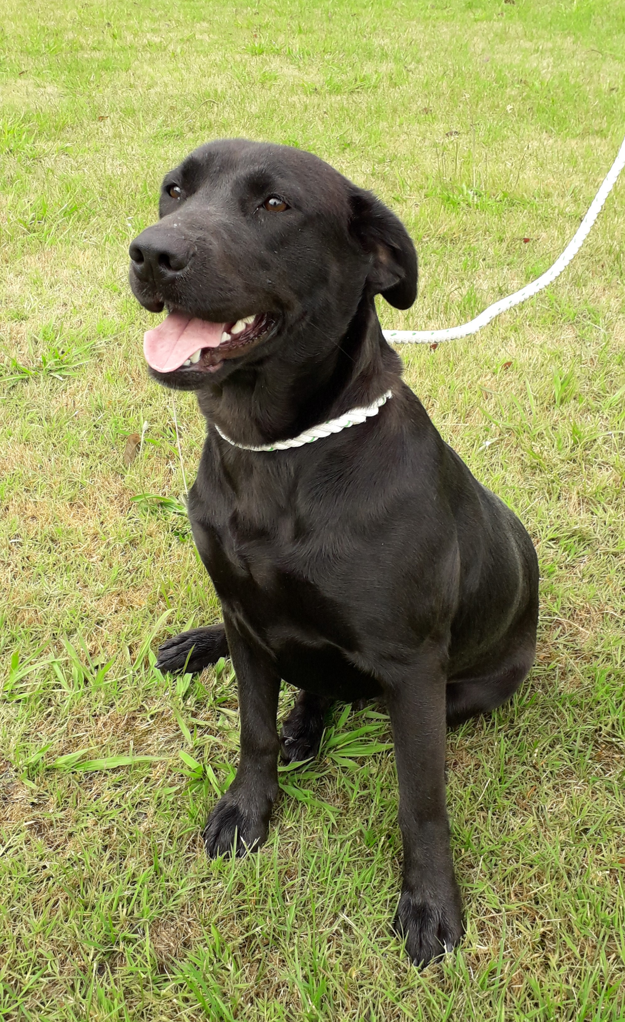 This lovely girl is showing all the traits of the Labrador breed,